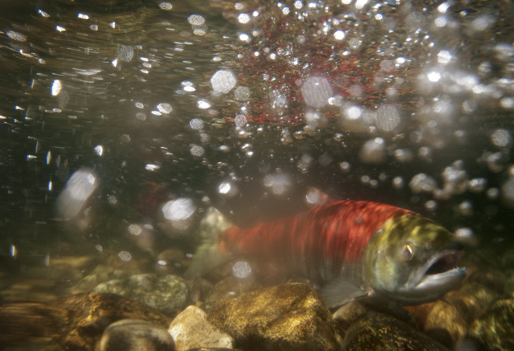 A ground-breaking government-to-government process has delivered recommendations that will protect and restore wild salmon stocks, allow an orderly transition plan for open-pen finfish for the Broughton Archipelago and create a more sustainable future for local communities and workers.