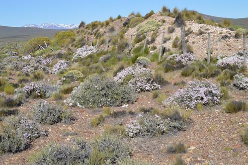 DSC_0022 Junellia connatibracteata ジュネリア コンナチブラクテアタ