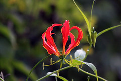 Flame lily Mufindi Highlands in Tanzania