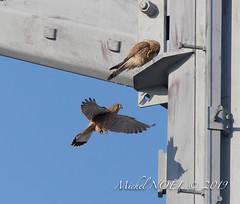 Faucon crécerelle Falco - tinnunculus - Common Kestrel : Michel NOËL © 2019-8777.jpg