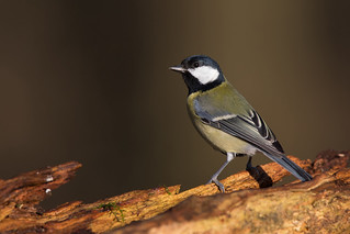 Great Tit (Parus major) | by Wildlife Photography by Matt Latham