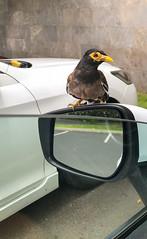 Bird on the mirror Maui Hawaii