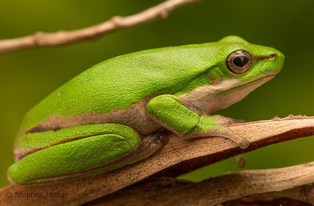 A cute little sedge frog
