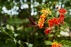 Pride of Barbados Blossoms