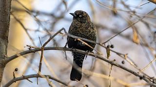 209A2979_Rusty Blackbird_ST