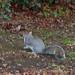 Shirley Park - squirrel