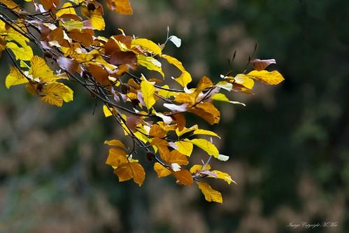 Golden Beech. ( Explored.)