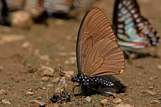 Papilio slateri - the Blue-striped Mime