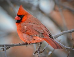 Where Have All The Cardinals Gone?