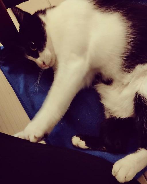 20190122 到底給不給人出門啊 (竟然邊呼嚕邊推推我!) #戴家黑糖蜜 #livingwithcats #cats