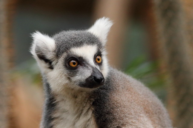 Ring Tailed Lemur, Canon EOS 80D, Canon EF 300mm f/4L IS