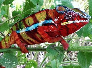 Panther chameleon (Furcifer pardalis) - image1-01-01
