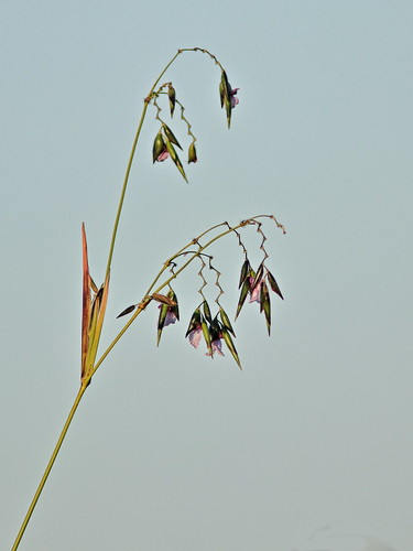 Bent Alligator Flag - Thalia geniculata HD 01-20181107