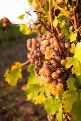 Vendanges / Sauternes - Photo of Landiras