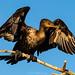 Cormorant sticks the landing by DonMiller_ToGo