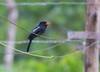 Black Nunbird (Monasa atra)