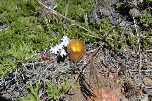 DSC_0305 Pterocactus australis プテロカクタス オウストラリス