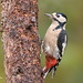 Great Spotted Woodpecker D85_6775.jpg