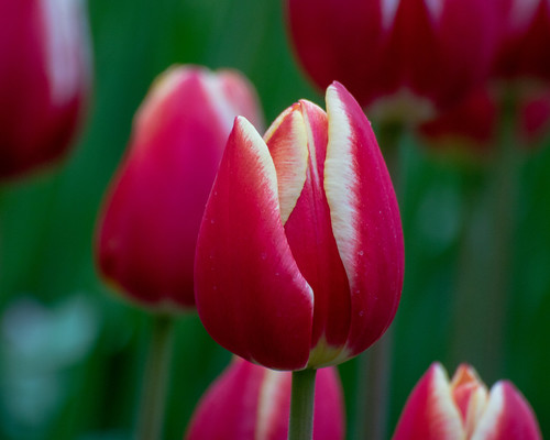 Enoshima winter tulips
