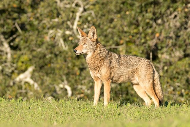 DSC 2561.jpg Coyote, UCSC, Nikon D500, AF-S Nikkor 200-500mm f/5.6E ED VR