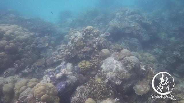 濁ってたけど珊瑚はキレイ♪