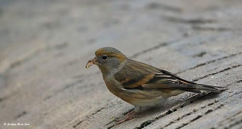 Little canary is feeding