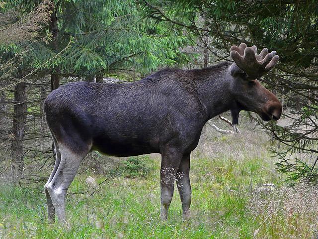 Sweden, moose, Panasonic DMC-FZ18