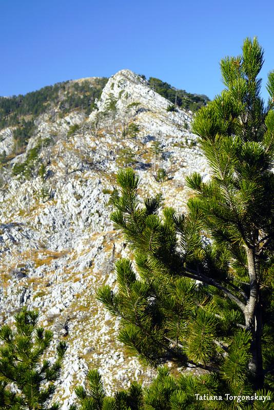 Сосна и вершина горы