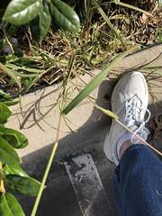 Silver bluestem (Bothriochloa laguroides var. torreyanna) Poaceae