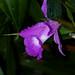 Sobralia Roseo-macrantha 'Leatrice Christine' primary hybrid orchid 11-18