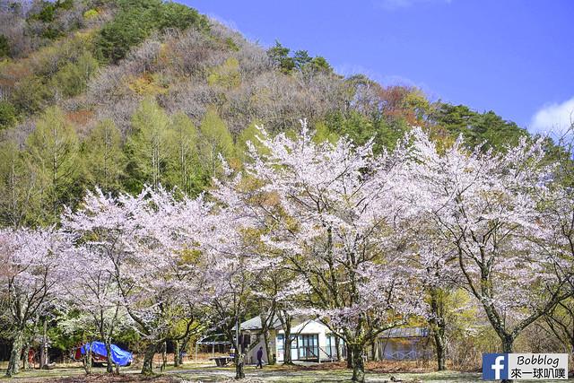 西湖療癒之鄉根場櫻花-2