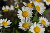 Photo:Chrysanthemum ornatum  サツマノギク By ashitaka-f studio k2
