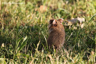 Young Hamster in the Evening Sun