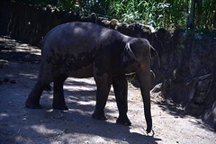 Borneo Pygmy Elephants really do look rather small