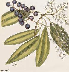 Tupelo Tree (Arbor in aqua nafeens) , Red Bay (Laurus Carolinenfis), Purple-berried Bay (Liguftrum Lauri folio), Saffafras Tree (Cornus Mas odorato) from The Natural History of Carolina, Florida, and the Bahama Islands (1754) by Mark Catesby (1683-1749).