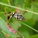 Mellinus arvensis - Field digger wasp