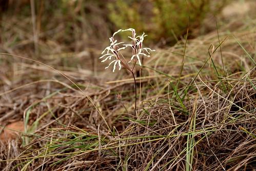 Pelargonium fergusoniae grows in fynbos in loose sandy soil and flowers from late November to January.