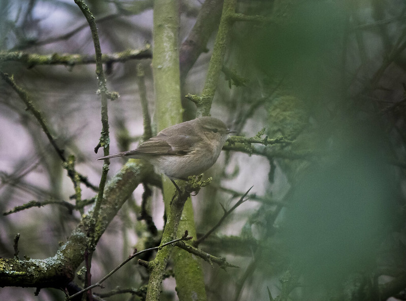 (Possible) Siberian Chiffchaff, Bedford Sewage Works, 12th January 2019