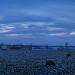 Blaue Stunde - Landschaft mit Schafen - 22. Januar 2019 - Tarbek - Schleswig-Holstein - Deutschland