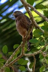 Belize Roadside Hawk