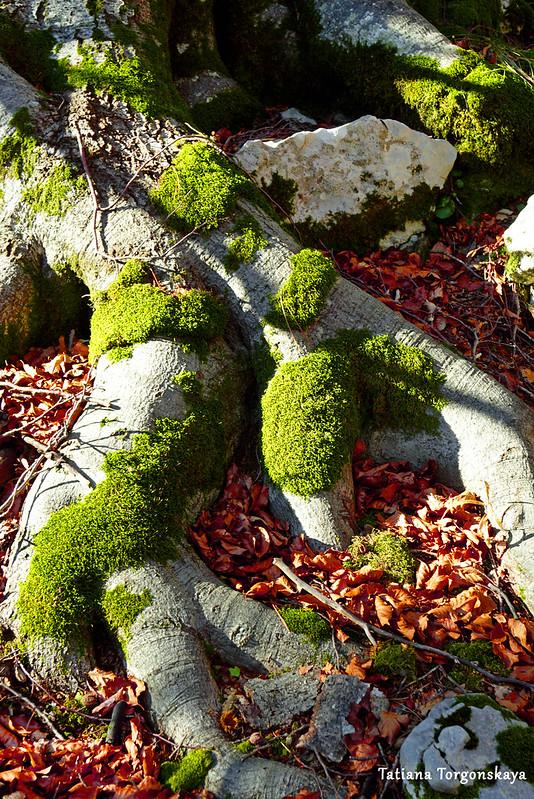 Корни бука и опавшие листья