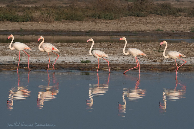 Greater flamingo (Phoenicopterus roseus), Nikon D500, Sigma Macro 50mm F2.8 EX DG