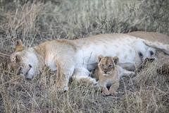 Lion Cub & Mother