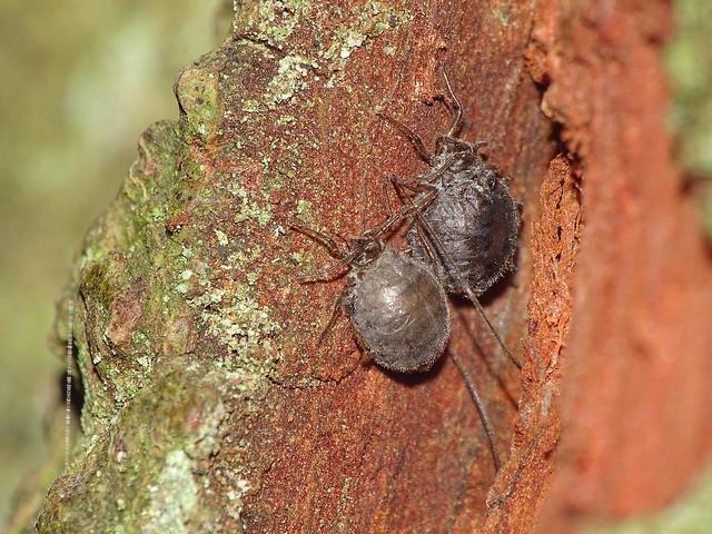 Stomaphis wojciechowskii, parasitised females