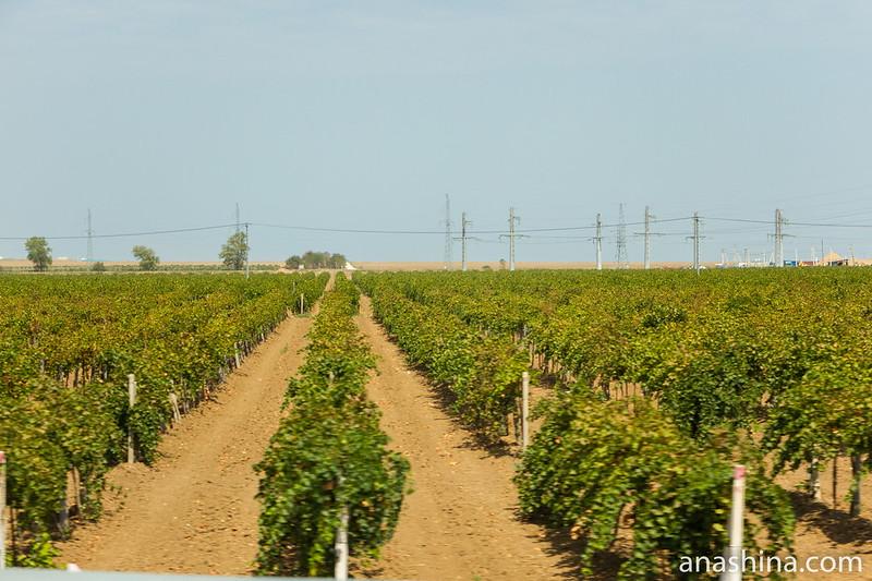 Виноградники, Таманский полуостров