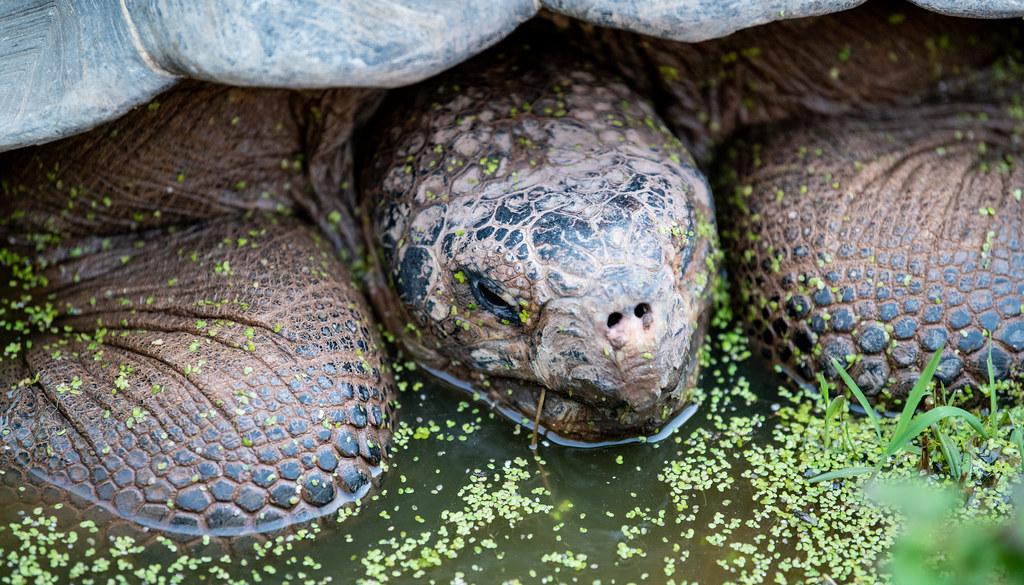 Galapagos Tortoise_2