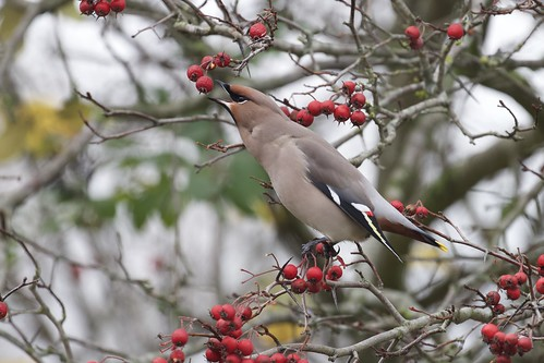 Bohemian Waxwing | Pestvogel (Bombycilla garrulus)