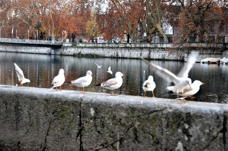 Gulls 01.12 (8)