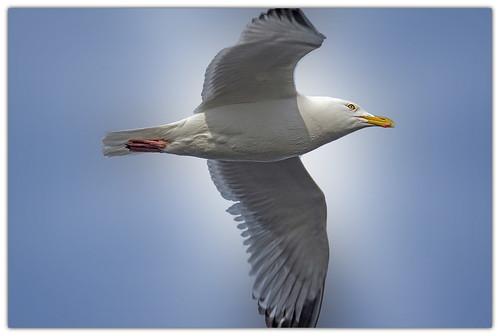 herring gull in flight