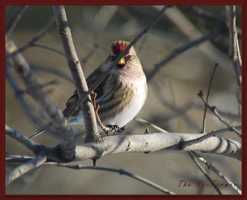 2018-12.birds.redpoll.2